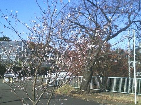 農業技術支援センター冬桜2016
