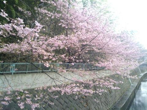 有馬川河津桜