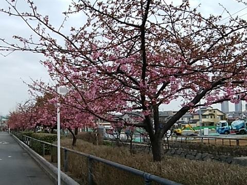 江川せせらぎ遊歩道河津桜