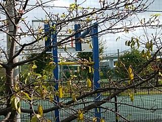 谷本公園の河津桜狂い咲