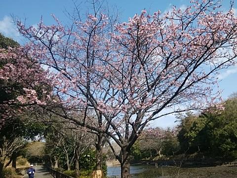 三ツ池公園寒桜