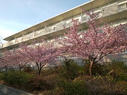 そんぽの家河津桜