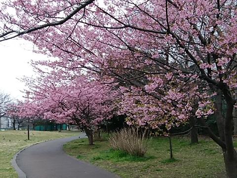 桜川公園河津桜