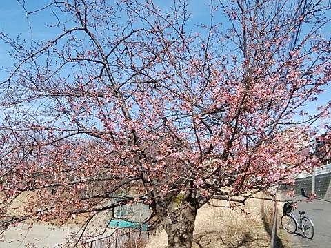 すみれが丘公園河津桜