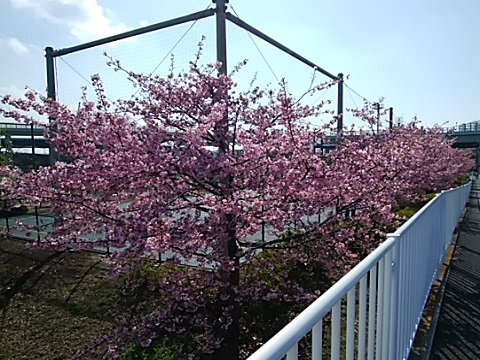 谷本公園の河津桜