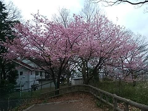 夢見が崎動物公園の河津桜