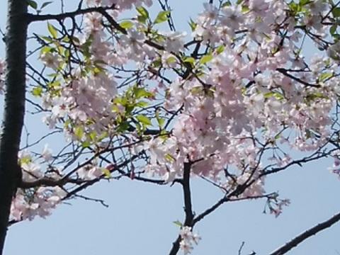 八重の豆桜