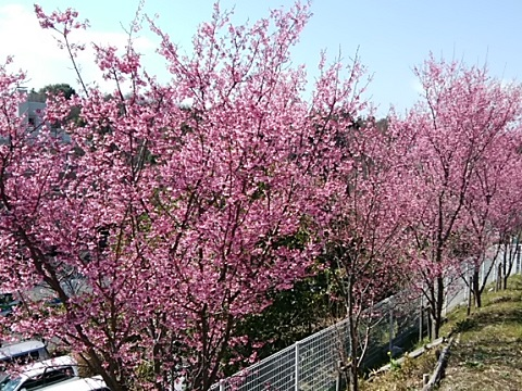 特養けやき荘オカメ桜