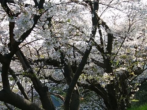 子安台公園桜