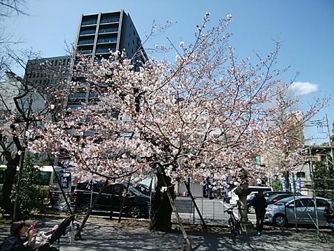 稲毛神社桜