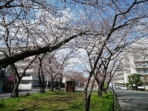 中瀬緑地桜