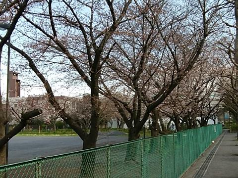 小田7丁目公園桜