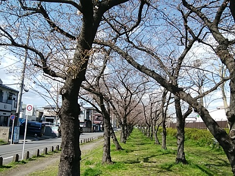 殿町第3公園桜