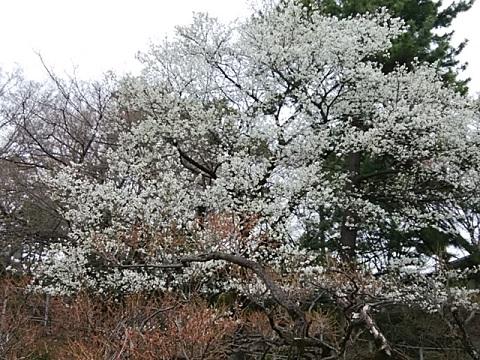 大倉山公園大島桜