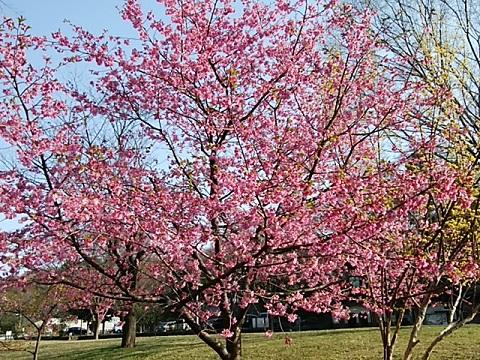 北八朔の寒緋桜