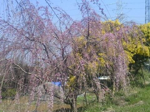 長津田交差点付近のしだれ桜