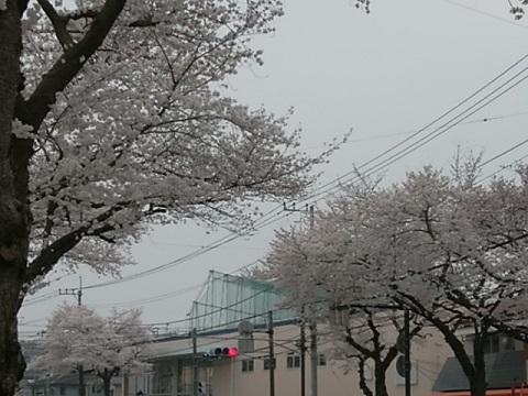 十日市場の桜並木