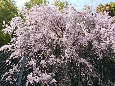 東泉寺枝垂桜