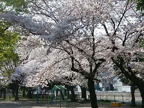 井田公園桜