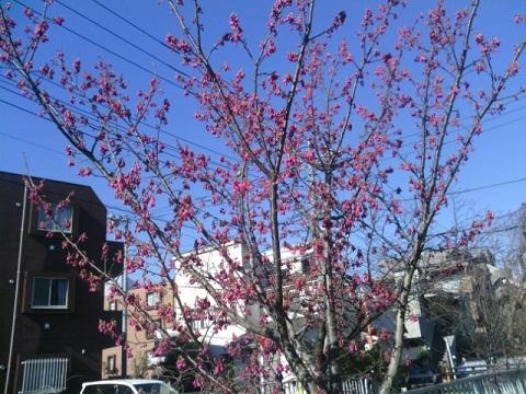 宮内寒緋桜