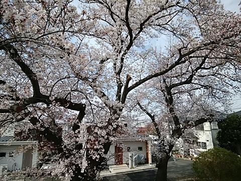 富士見台古墳桜