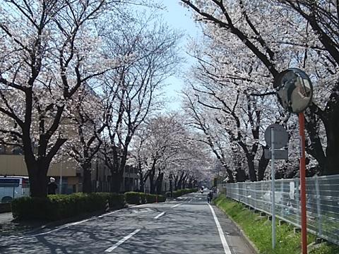 かすみ堤桜並木