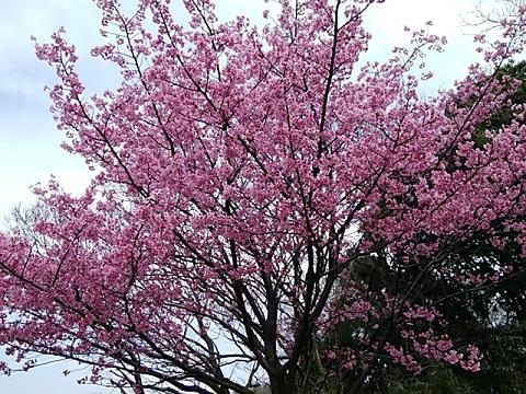 緑ヶ丘霊園緋桜