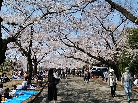 緑ヶ丘霊園桜