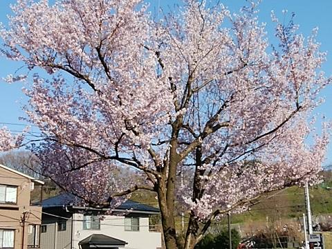 生田緑地桜