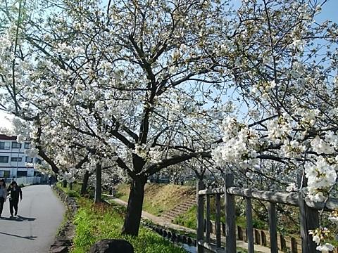 二ヶ領本川大島桜並木
