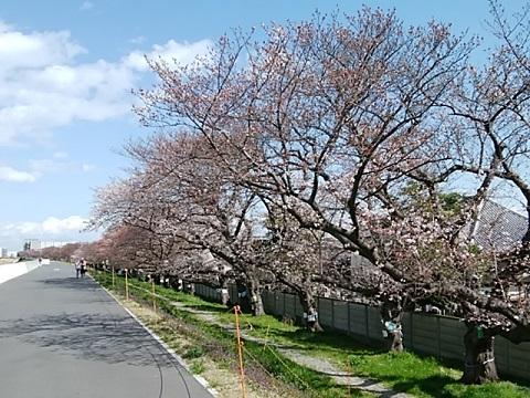 大師橋右岸堤防桜並木