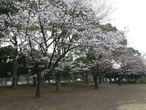 入船公園桜