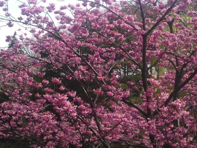 三ツ池公園横浜緋桜