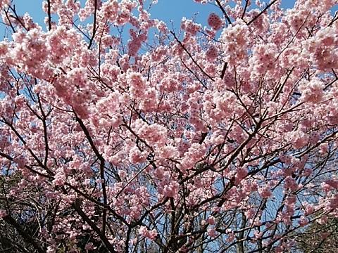 熱海大漁桜