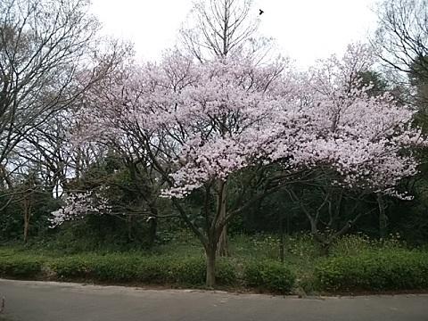 越の彼岸桜