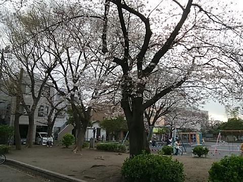 汐入公園桜