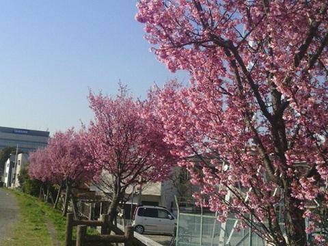 鶴見橋オカメ桜