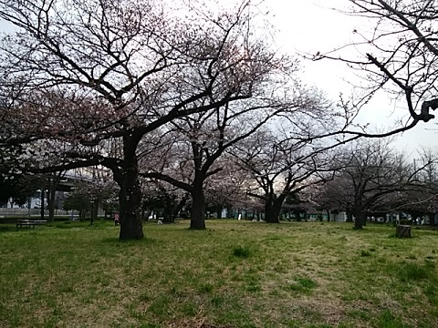 潮田公園桜