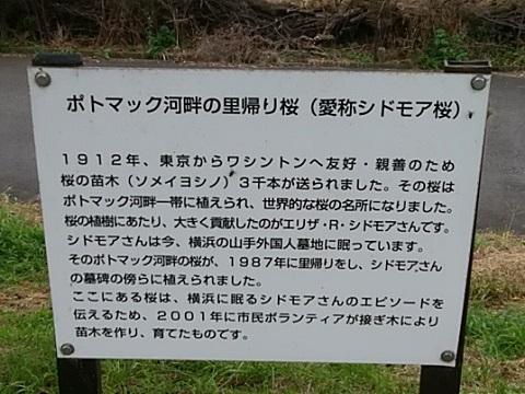 鴨池桜並木シドモア桜