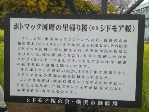 シドモア桜
