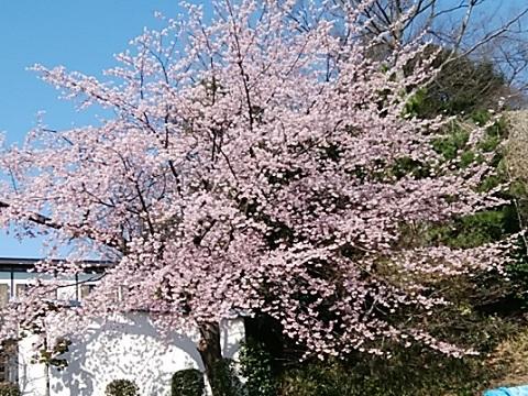 関家住宅前の大寒桜