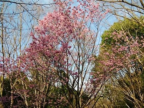 せせらぎ公園横浜緋桜