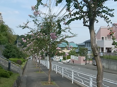 茅ヶ崎の百日紅並木