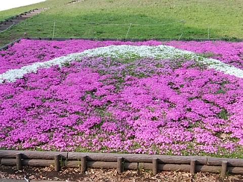 川和富士芝桜