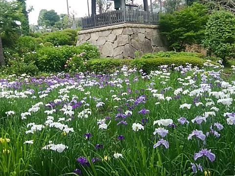 正覚寺の花菖蒲
