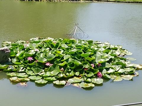桜台公園の睡蓮