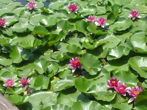 白幡池公園の睡蓮