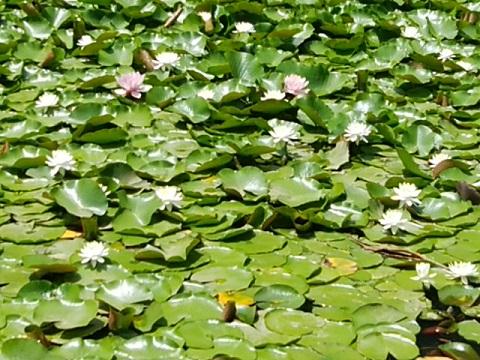 山田富士公園の睡蓮