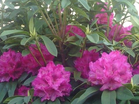 東横フラワー緑道の石楠花