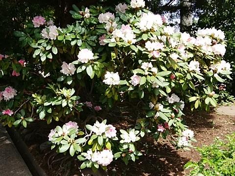 慈眼寺の石楠花